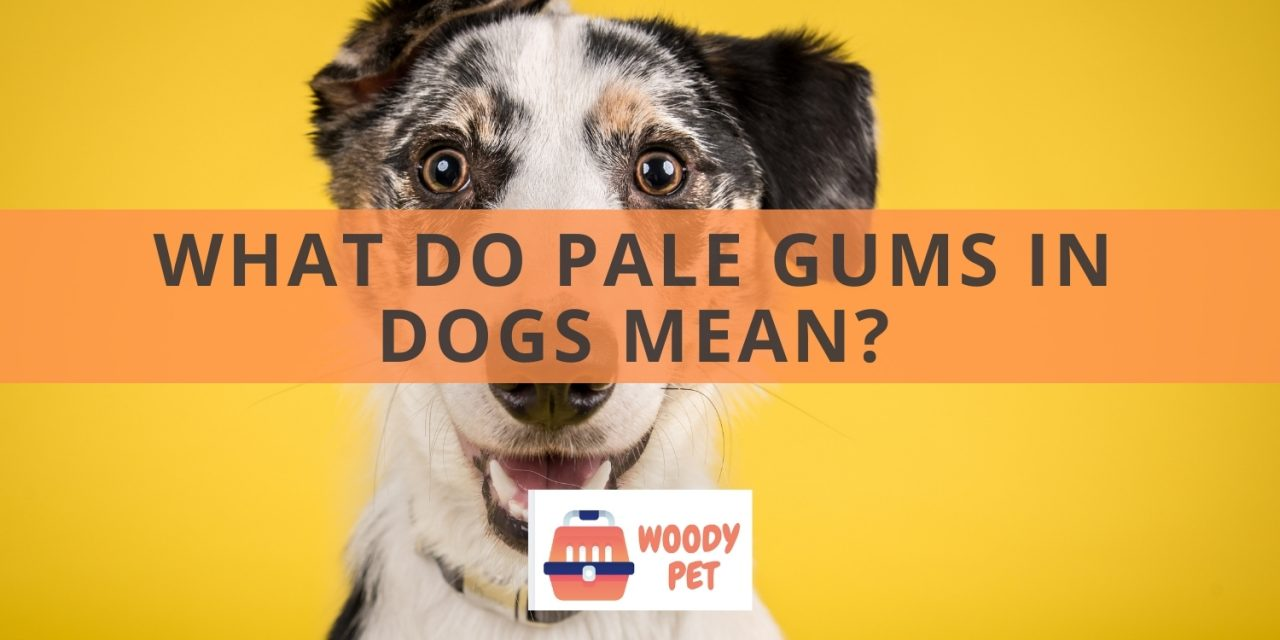 What Do Pale Gums in Dogs Mean?