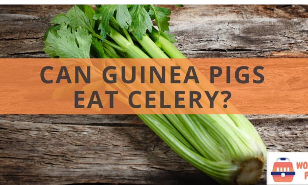 Can guinea pigs eat celery?