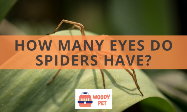 How Many Eyes Do Spiders Have?