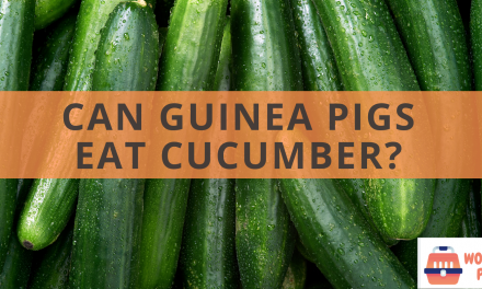Can guinea pigs eat cucumber?