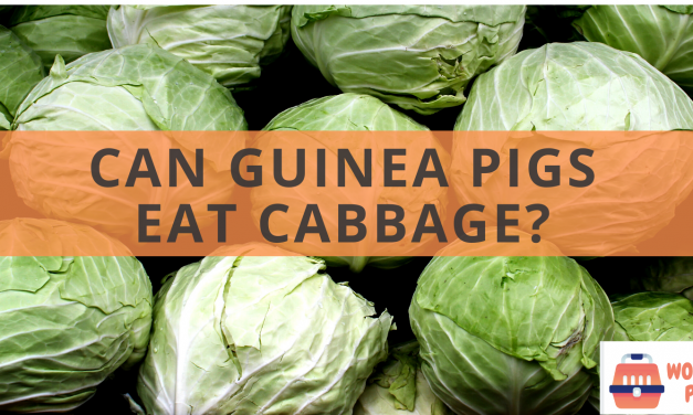 Can guinea pigs eat cabbage?