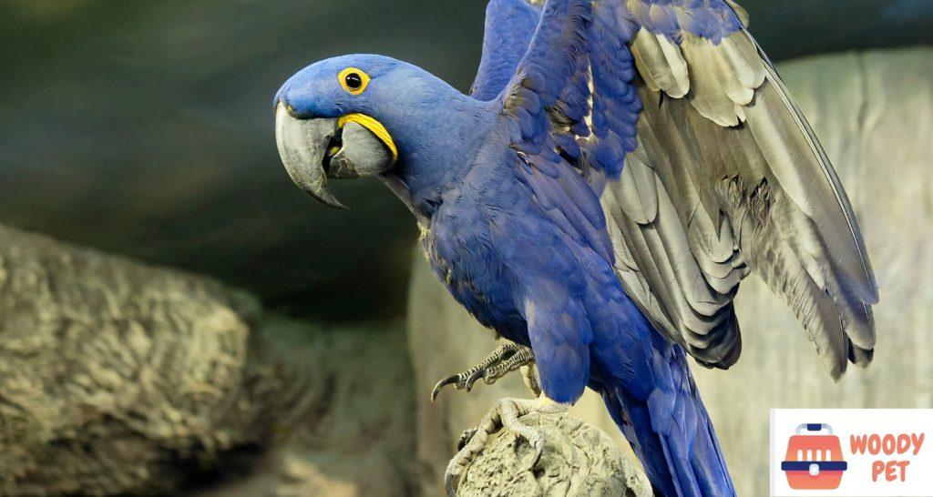 Blue Spix Macaw