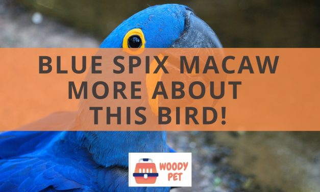 Blue Spix Macaw. More about this bird!