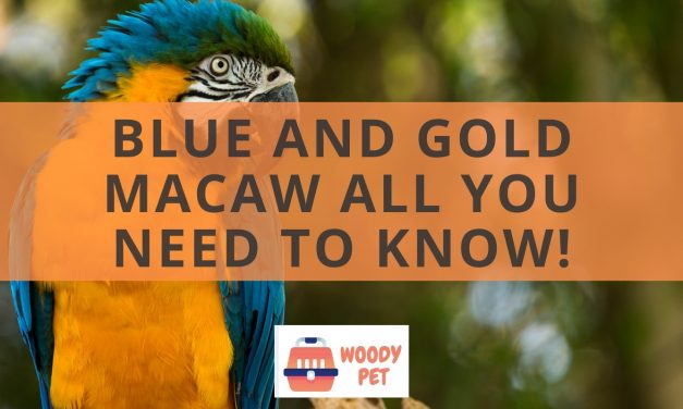 Blue and gold macaw. All you need to know!