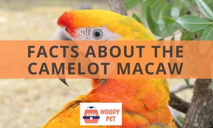 Facts about the Camelot macaw