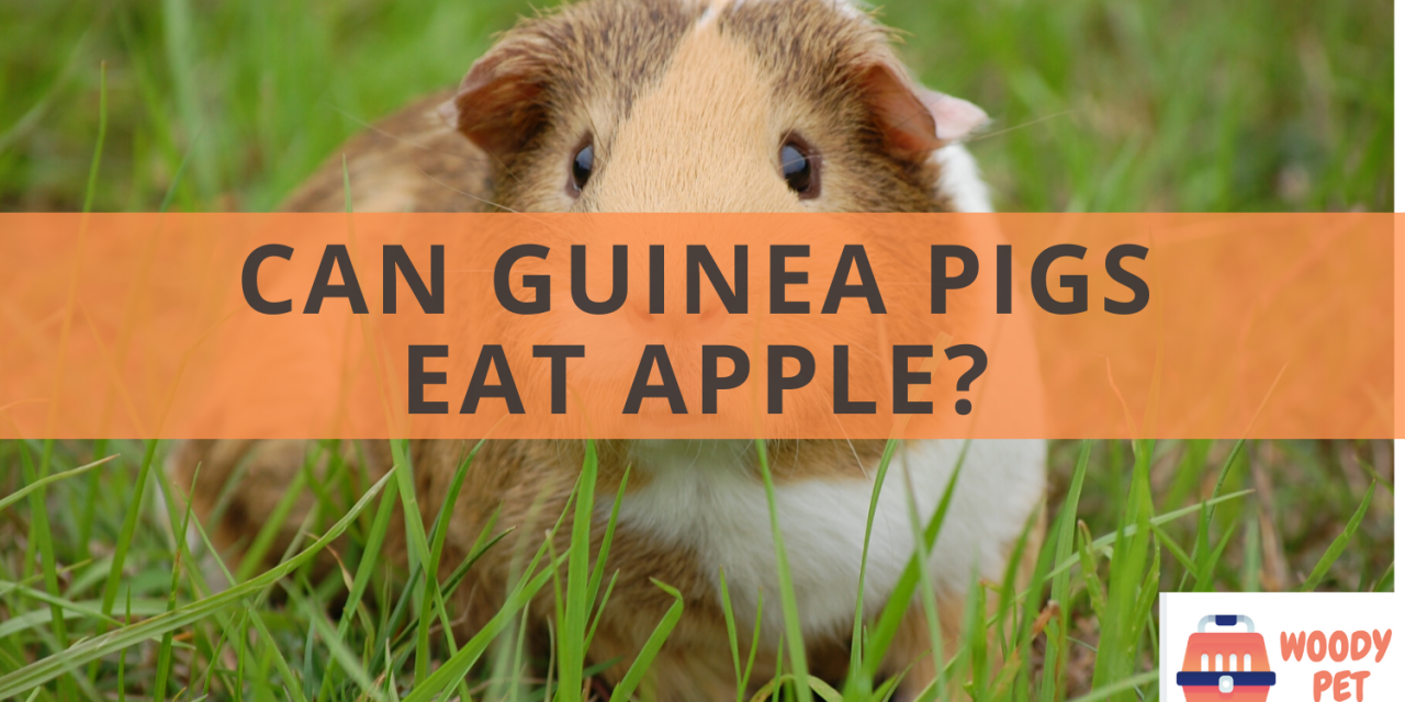 Can guinea pigs eat apple?