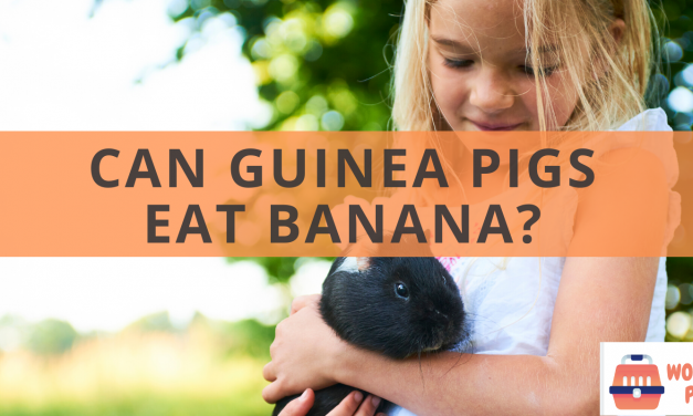 Can guinea pigs eat banana?