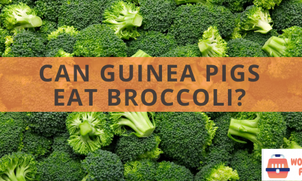 Can guinea pigs eat broccoli?