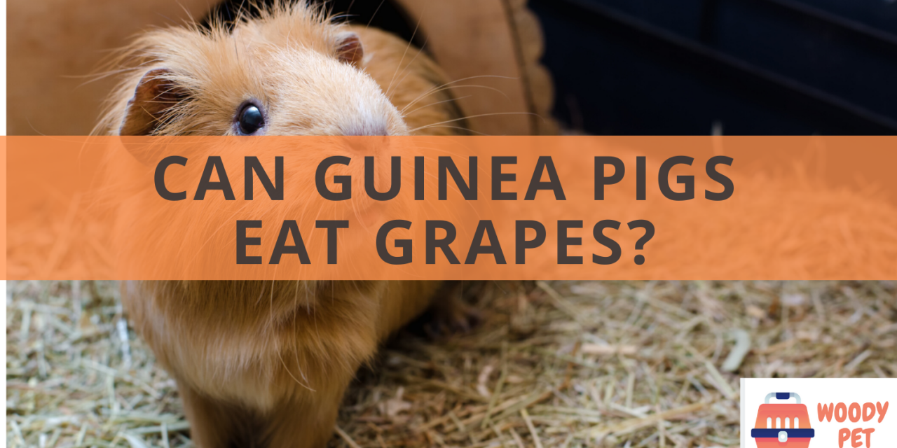 Can guinea pigs eat grapes?