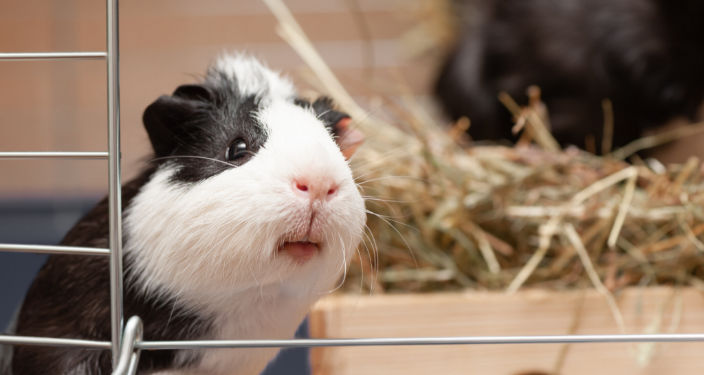 Can guinea pigs eat tomatoes