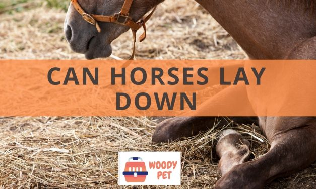 Can horses lay down?