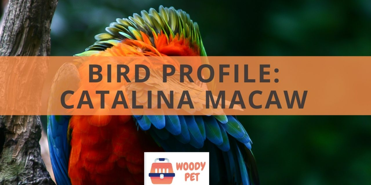 Bird Profile Catalina macaw
