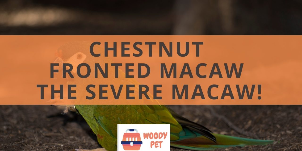 Chestnut Fronted Macaw. The Severe Macaw!