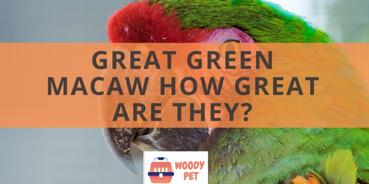 Great green macaw. How great are they?
