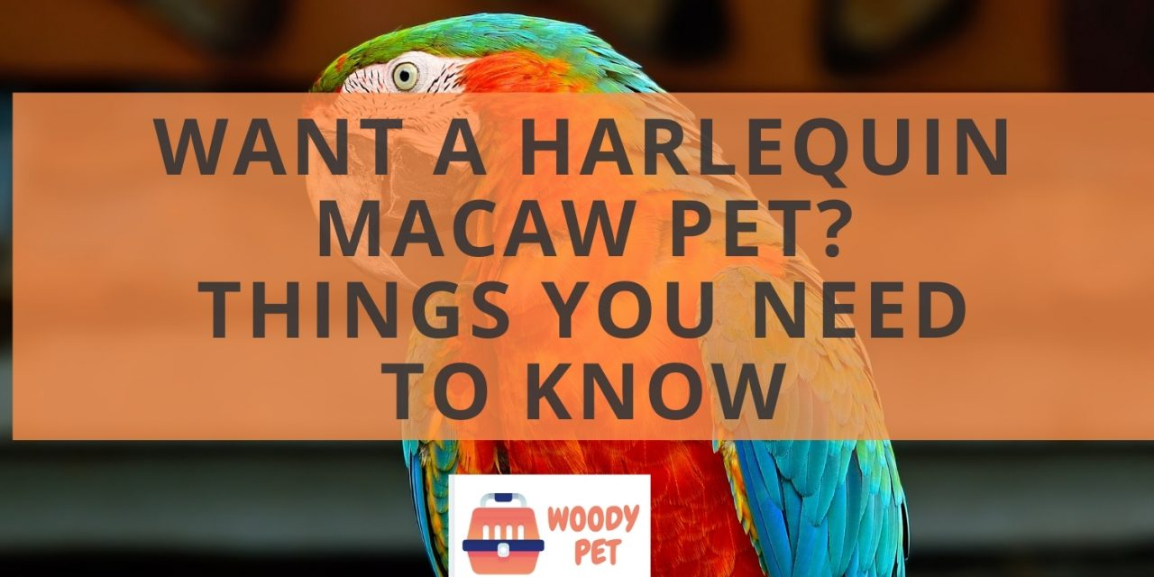 Want a Harlequin macaw pet? Things you need to know