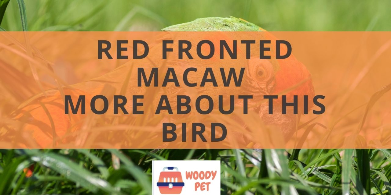 Red fronted macaw. More about this bird.