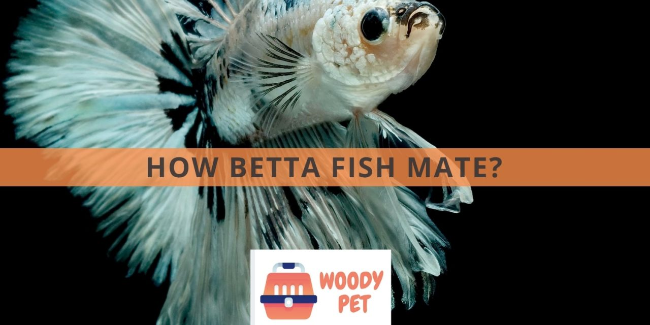 How Betta Fish Mate?