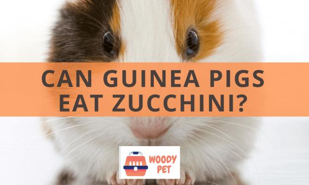 Can Guinea Pigs  Eat Zucchini?
