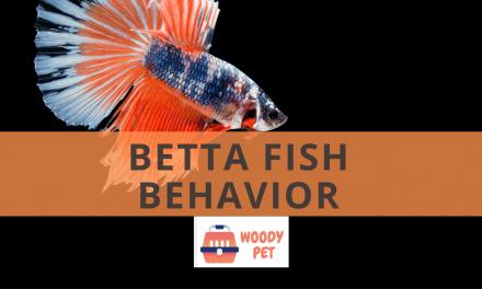 Betta Fish Behavior
