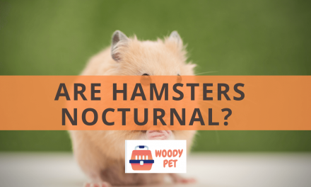 Are Hamsters Nocturnal?