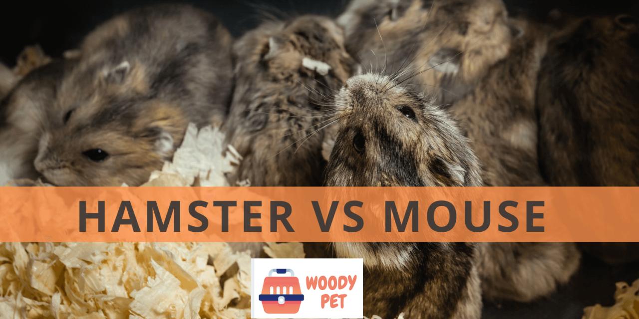 Hamster vs Mouse.