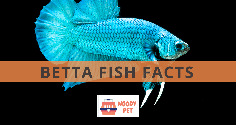 Betta Fish Facts