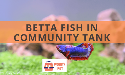 Betta Fish in Community Tank