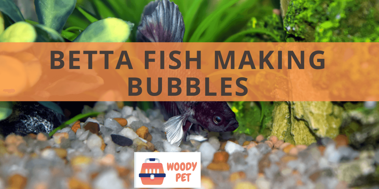 Betta Fish Making Bubbles