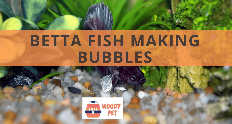 Betta Fish Making Bubbles