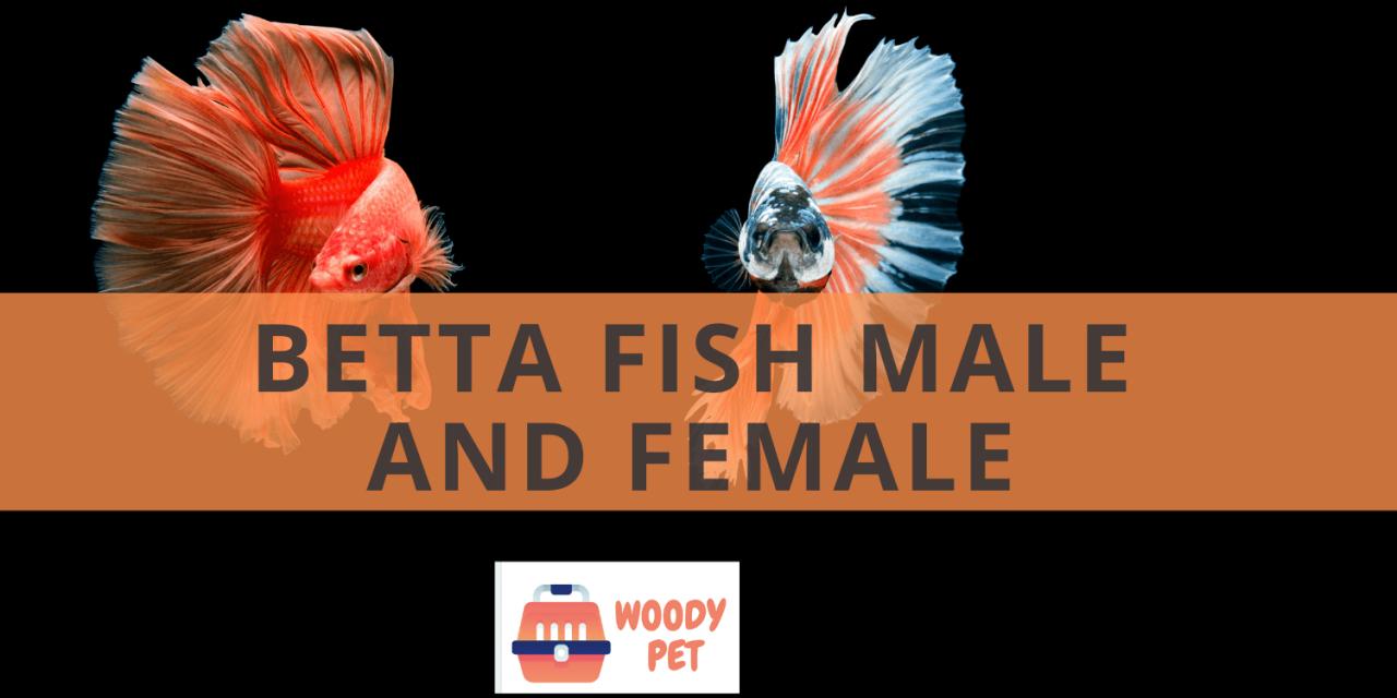 Betta Fish Male and Female