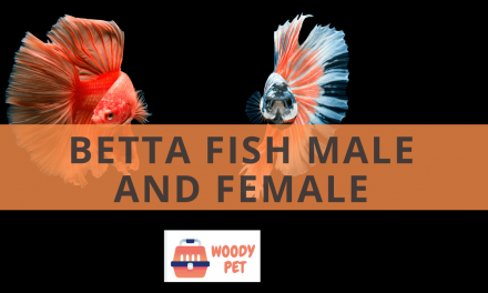 Betta Fish Male and Female