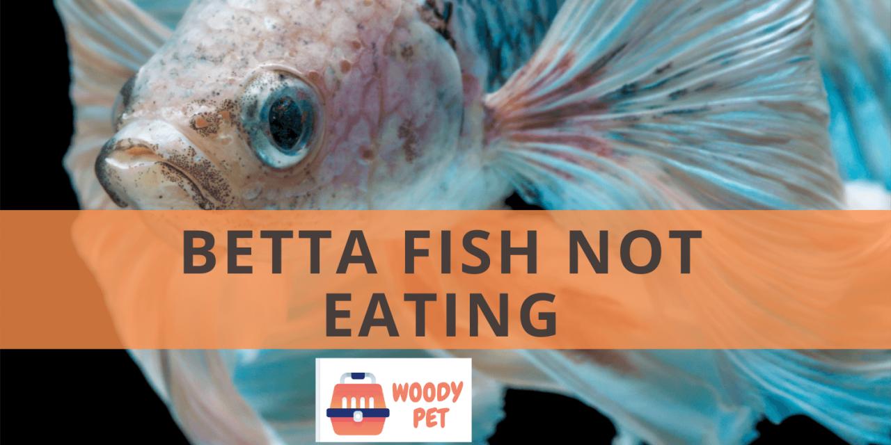 Betta Fish Not Eating