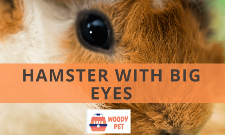 Hamsters with Big Eyes