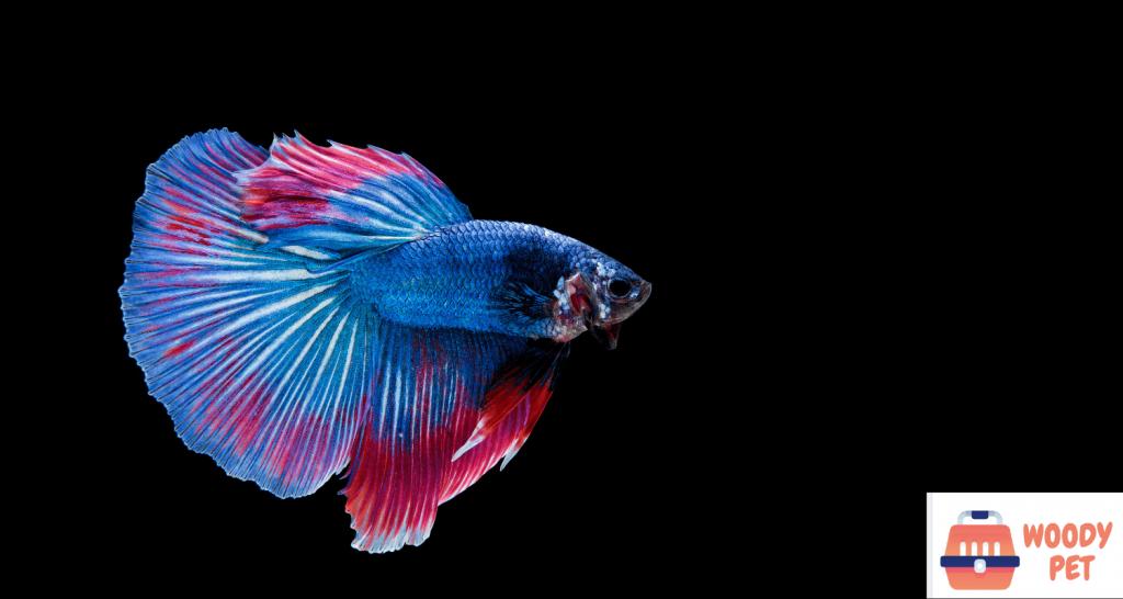 Are Betta Fish Tropical