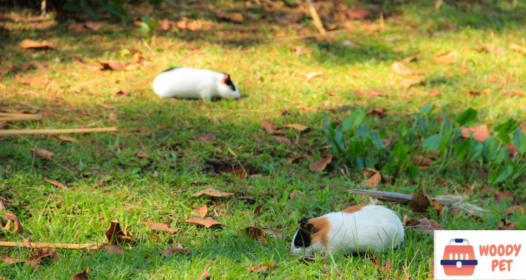 guinea pigs feeding schedule.