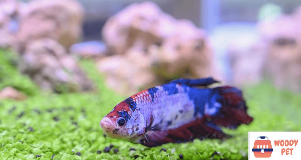 Why betta fish laying on bottom of tank