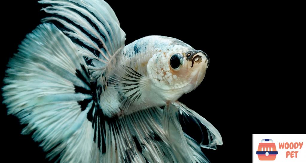 Betta Fish Natural Habitat