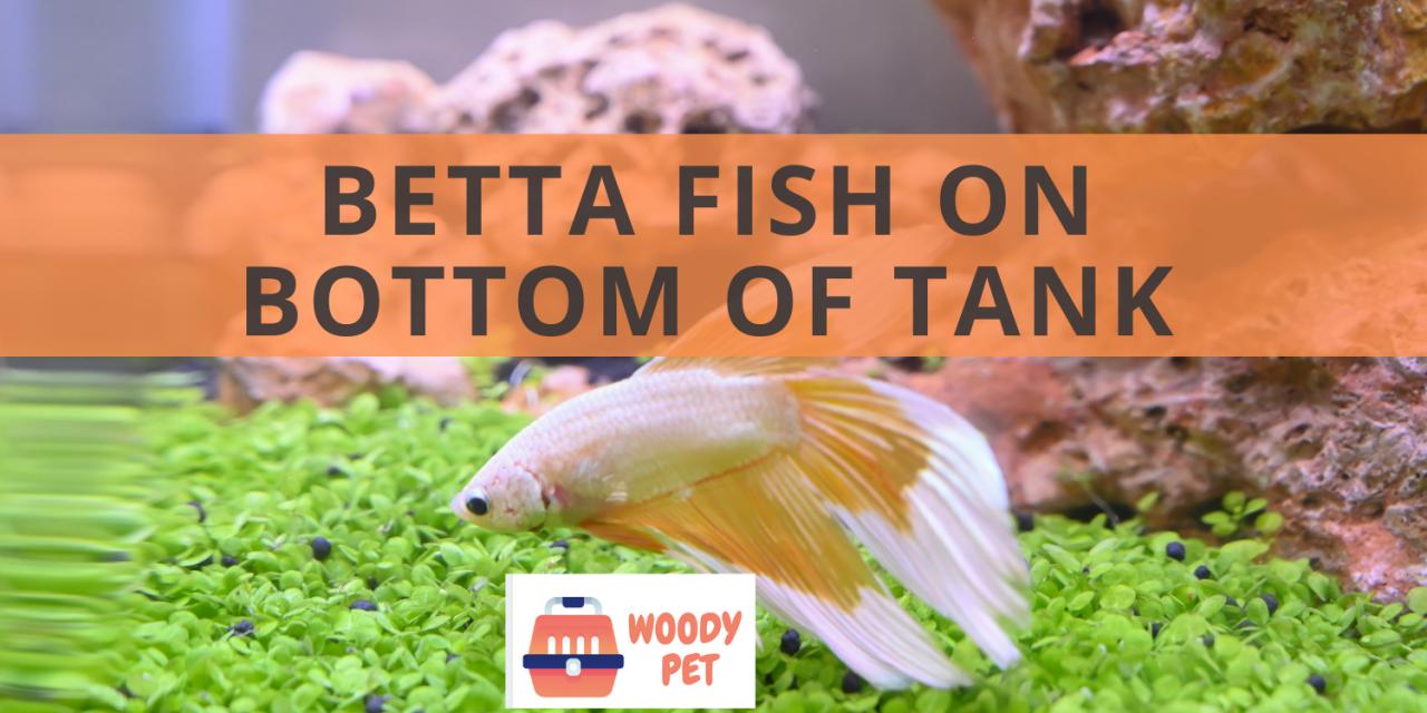 Betta Fish on Bottom of Tank
