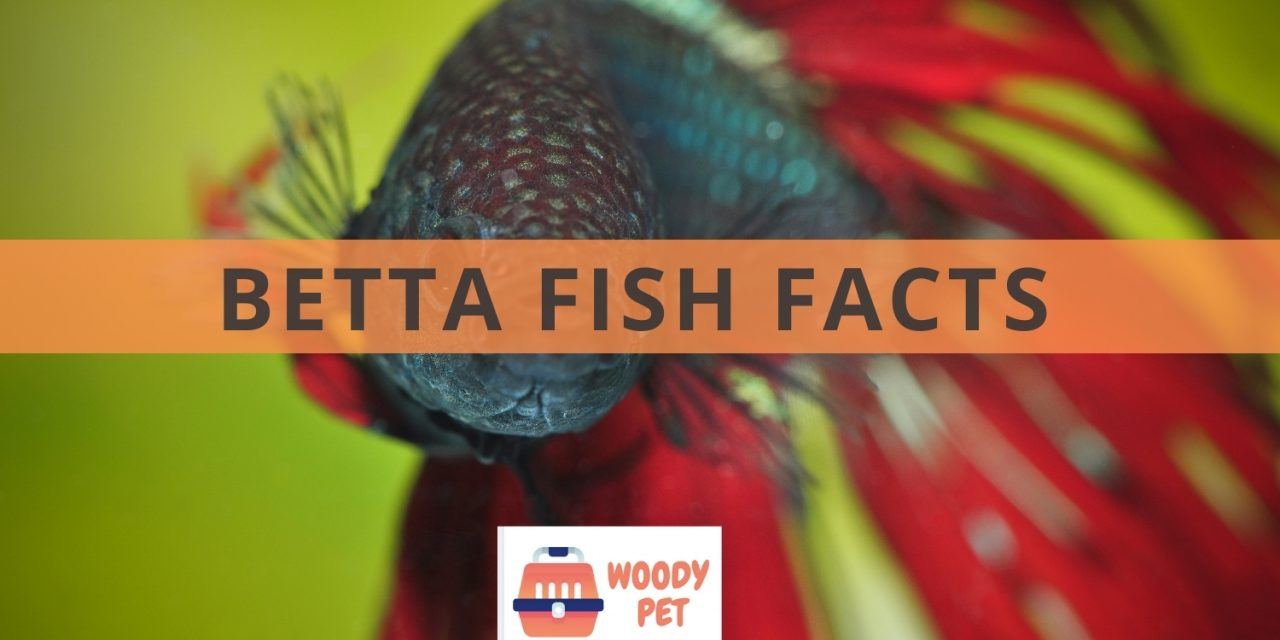 Betta Fish Facts You Should Know Before Getting One