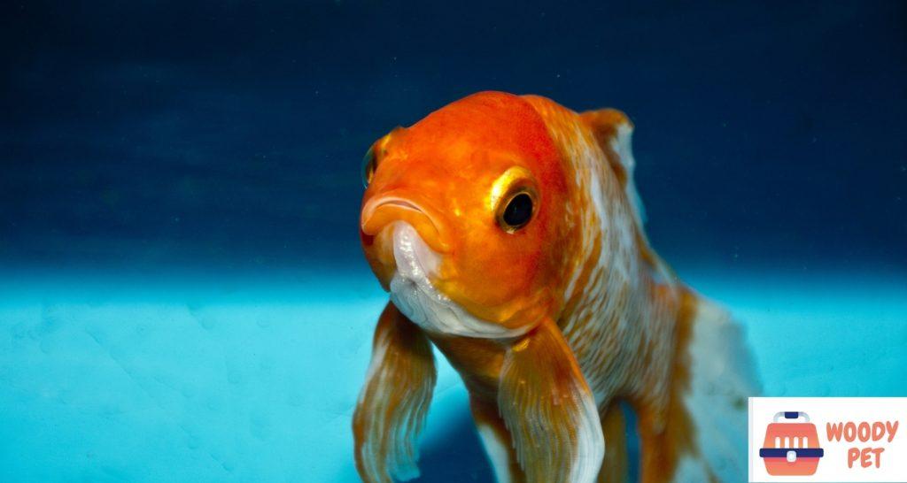 Can goldfish eat betta food (2)