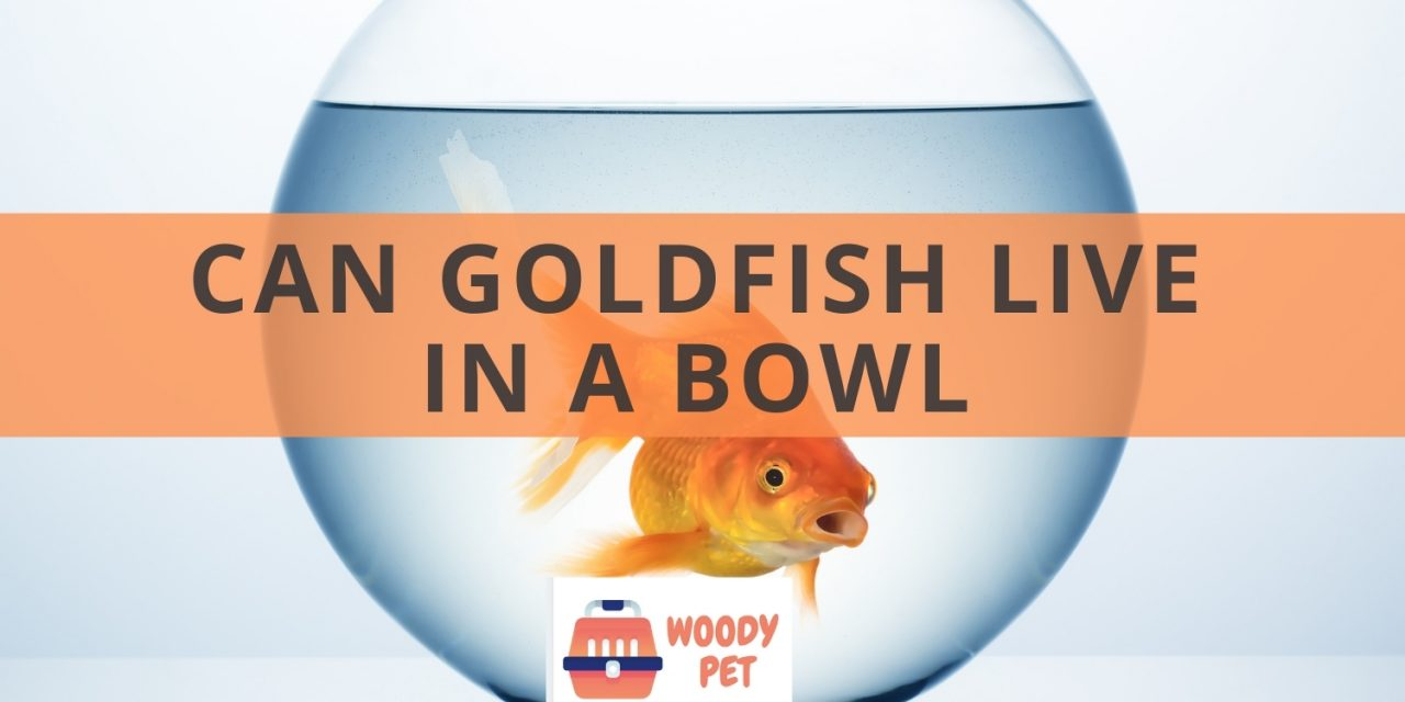 Can goldfish live in a bowl? It's actually a misunderstanding