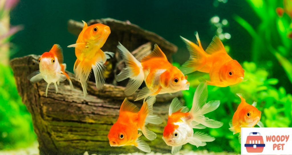Can goldfish live with other fish