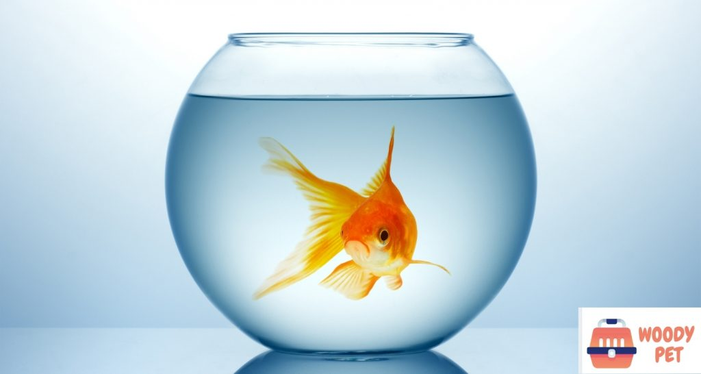 Can you use tap water for goldfish