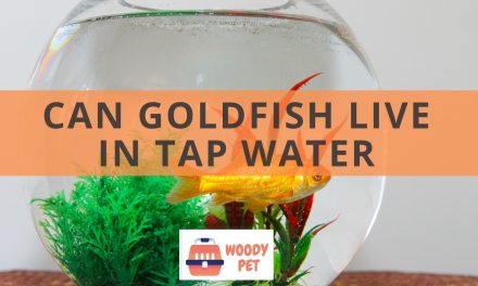 Can goldfish live in tap water? It could be actually bad