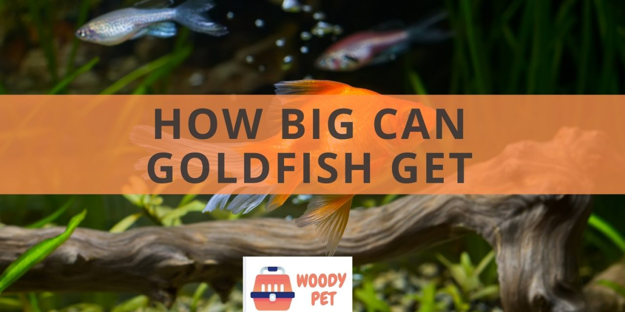 How big can goldfish get? Spoiler alert: It can be bigger than you think!