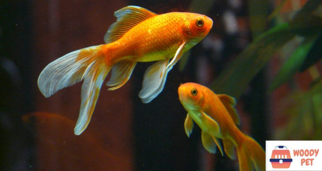 How big can goldfish get