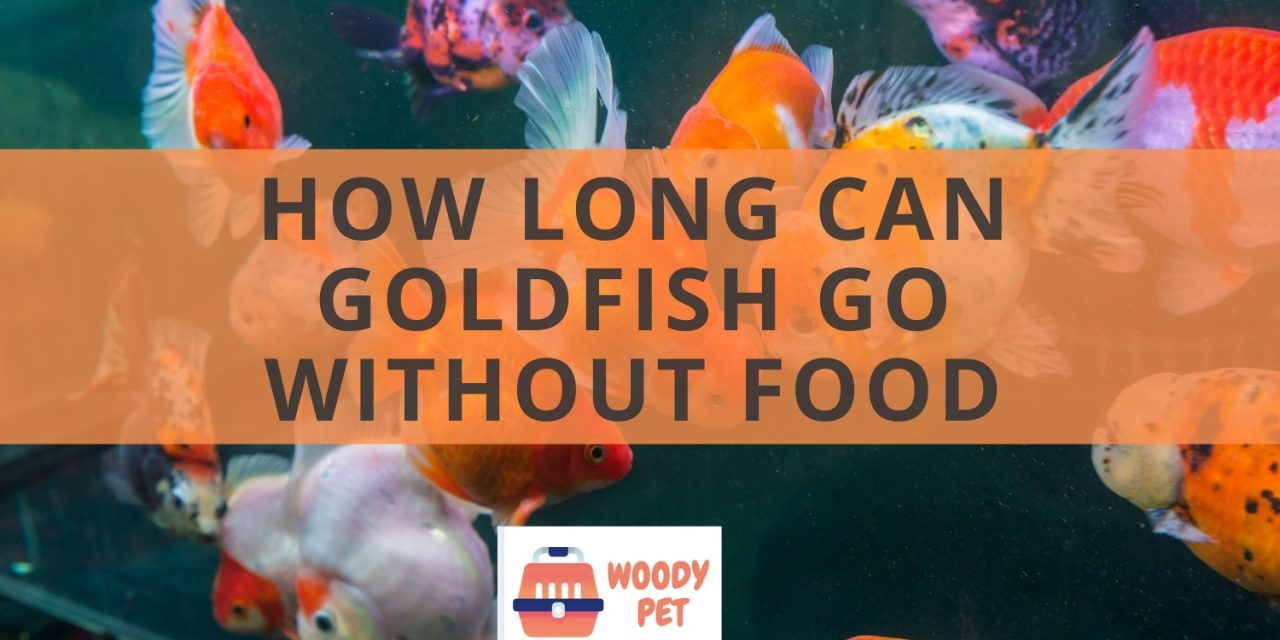 How long can goldfish go without food? You could be surprised.