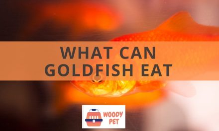 What can goldfish eat? In short: A lot!