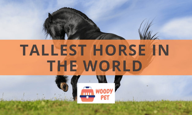 Tallest Horse in the World