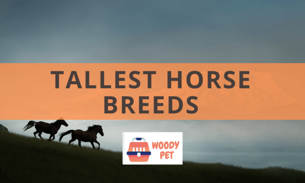 Tallest Horse Breed.